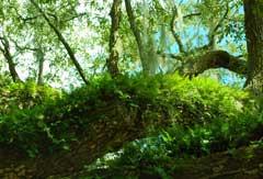 tree-fern-beaufort