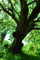 tree-tall-beaufort