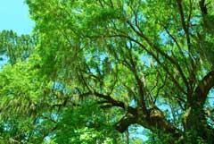tree-top-beaufort