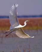 southern-exposure-egret