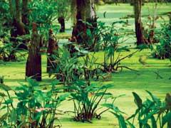 walterboro-swamp