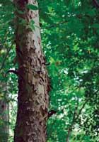 walterboro-tree