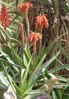 garden-aloe