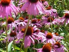 garden-echinacea