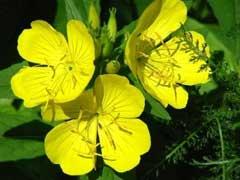 garden-evening-primrose