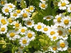 garden-feverfew
