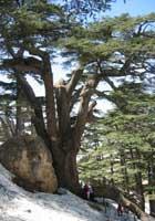 garden-lebanon-cedar