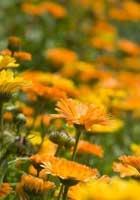 garden-marigold