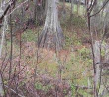 port-royal-bald-cypress