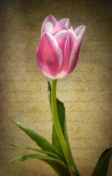 twin-dimke-tulip