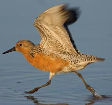 dnr-red-knot