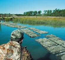 oyster-beds
