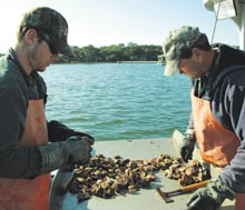oyster-sorting