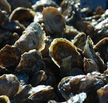 watermen-shell-pile