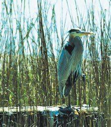 byt-beaufort-heron