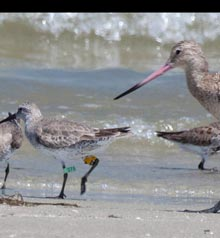 outsider-tagged-red-knot