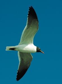 cumberland-gull-flight