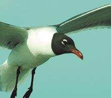 cumberland-gull