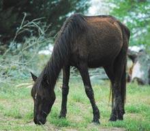 cumberland-horse-grazing