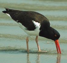 cumberland-red-beak