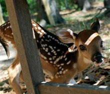 outsider-bambi
