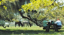 cumb-feral-horse-plumorchard