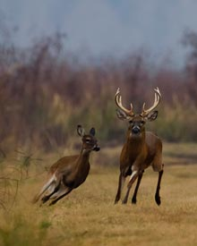 nature-buck-and-doe