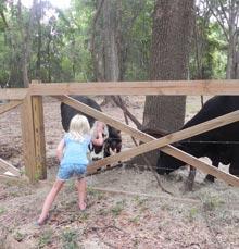 pinckney-julia-cows