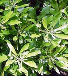 The Omnipresent Wax Myrtle