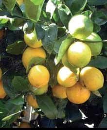 Meyered in Lemons