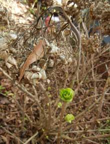 garden-Trimming-Hydrangeas