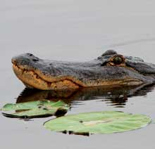 Gator-head-Lilypad