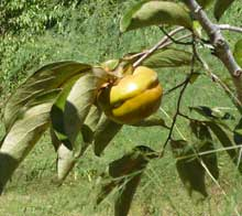 Persimmons are Getting Ripe