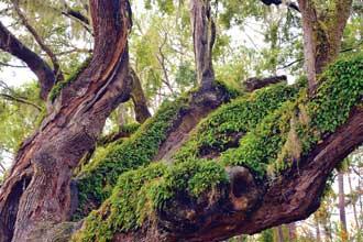 heritage-Tree-Crook