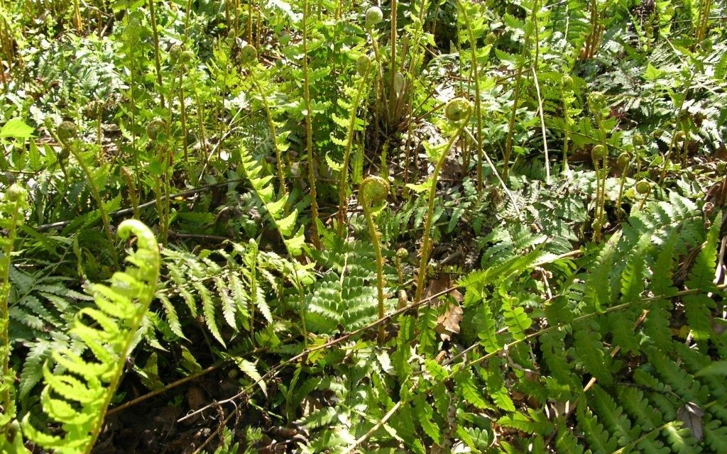 Ferns and Mosses Keep Their Cool