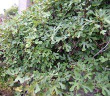 garden-fig tree