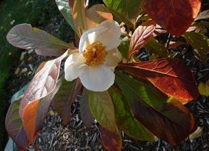 garden-Franklinia-alatamaha