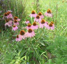 garden-coneflowers-pink
