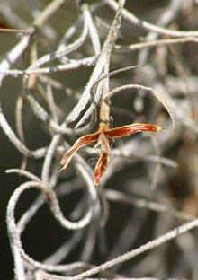 garden-Spanish-moss-seed