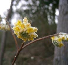 garden-Edgeworthia-chrysantha