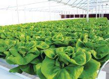 farm-Hydroponic-Lettuce