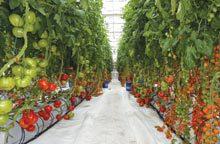 farm-Hydroponic-Tomatoes