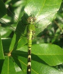 rants-dragonfly