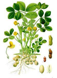 garden-Arachis