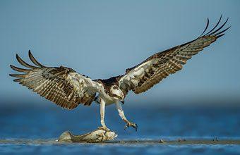 Wildlife-Rommel-Osprey-with-Flounder