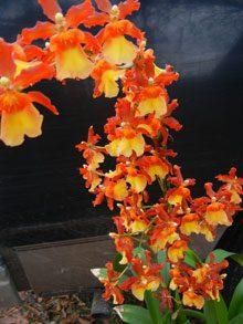 garden-Colemanara-X-Pacific-Spots