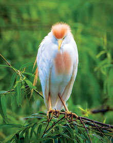 Cattle-Egret-Takes-a-Break