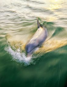 beholding-Dolphin-Follows