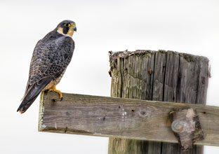 beholding-Peregrine-Falcon