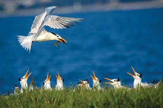beholding-Royal-Tern-with-Fish-Charleston